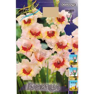 gladiolus-blekpul