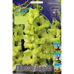 gladiolus-prima-verde