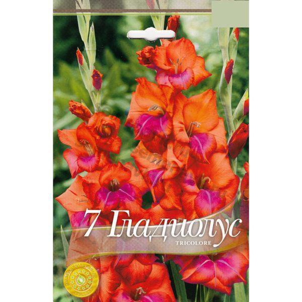gladiolus-tricolore